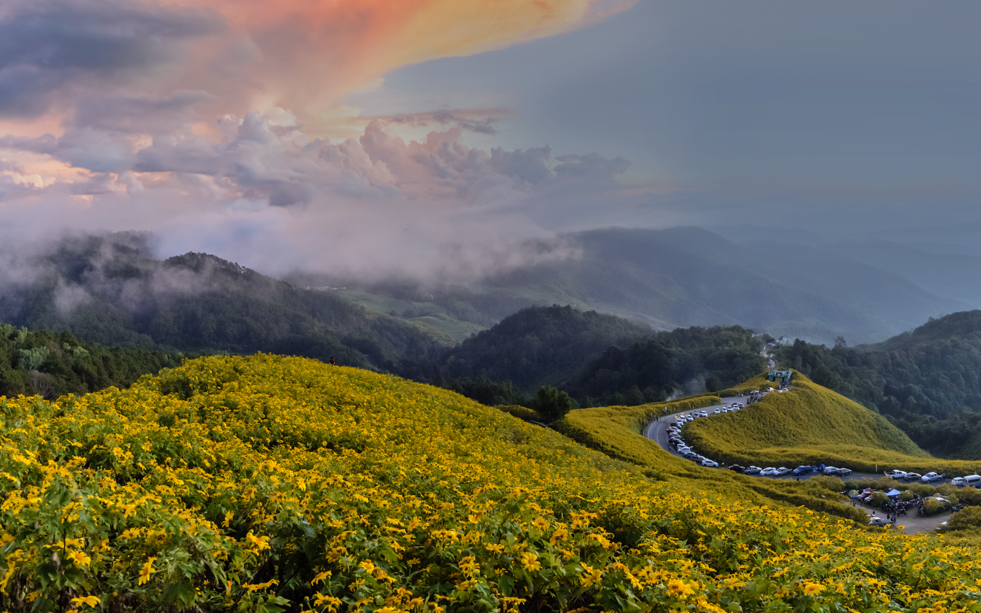 Rolling Hills of Yellow Flowers With a Winding Road Lined With Parked Cars